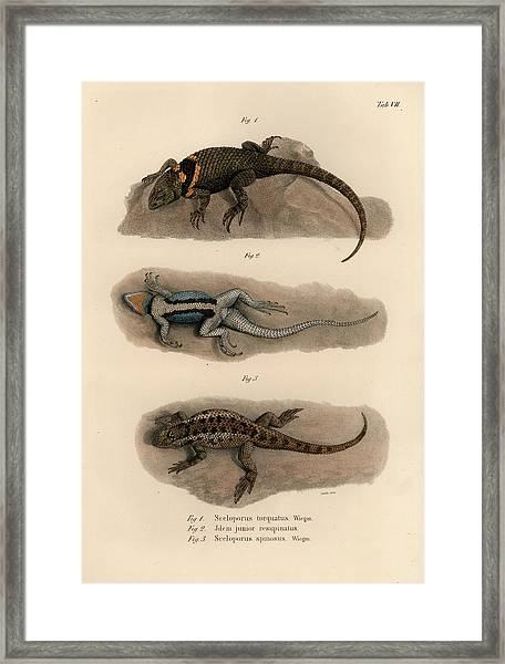 Framed Print featuring the drawing Spiny Lizards, Sceloporus by Carl Wilhelm Pohlke