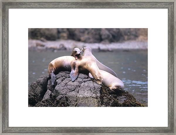 Spirited Sea Lions Framed Print