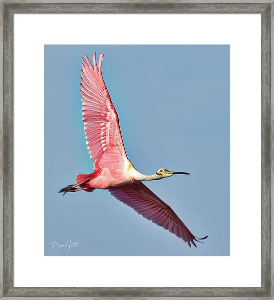 Framed Print featuring the photograph Spoonbill Flying Over by David A Lane