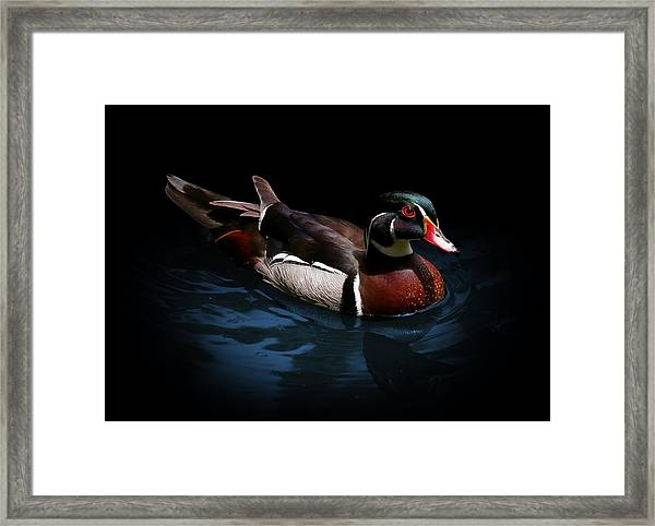 Spotlight On A Wood Duck Framed Print