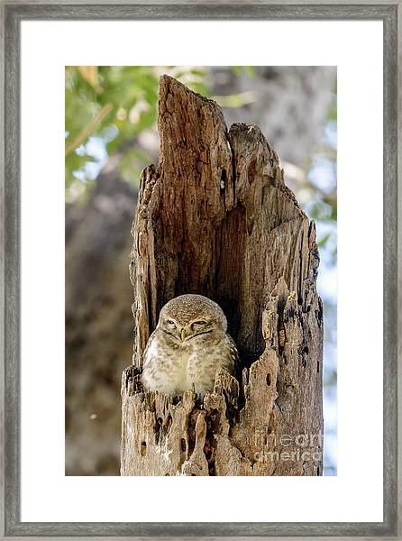 Spotted Owlet Framed Print