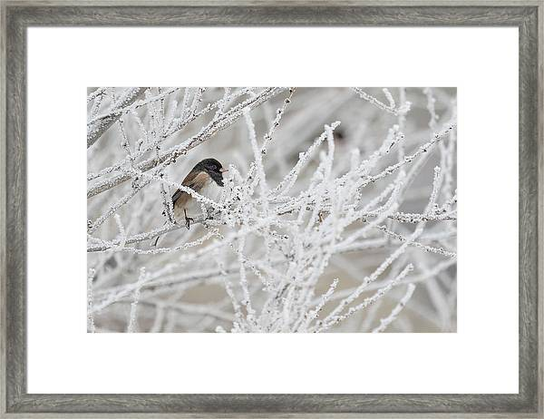 Spotted Towhee In Winter Framed Print