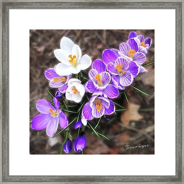 Spring Beauties Framed Print