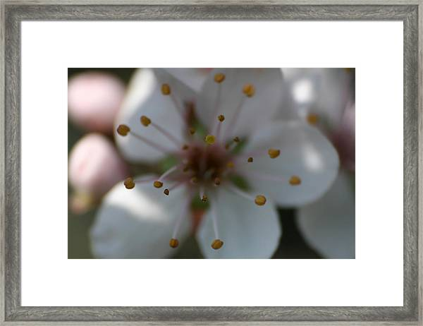 Framed Print featuring the photograph Spring Beauty Macro 1 by Dylan Punke