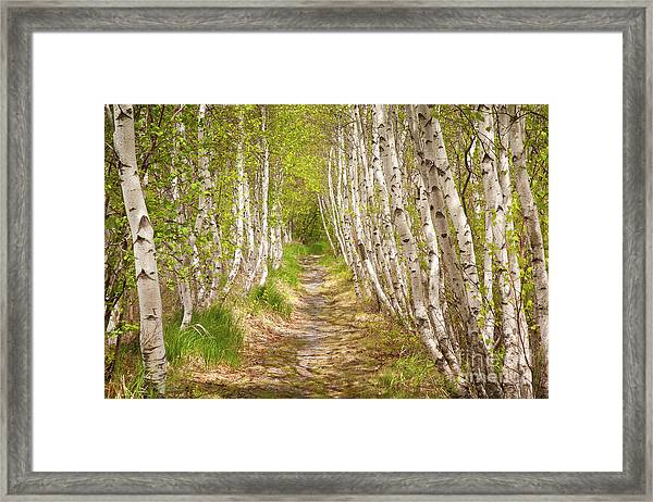 Framed Print featuring the photograph Spring Birch by Susan Cole Kelly