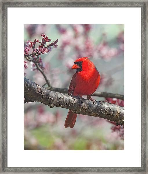 Spring Cardinal 2 Framed Print