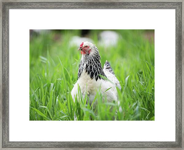 Spring Checken Framed Print