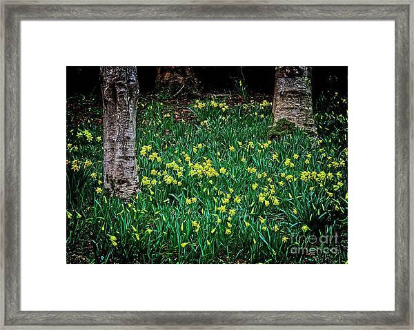 Spring Daffoldils Framed Print
