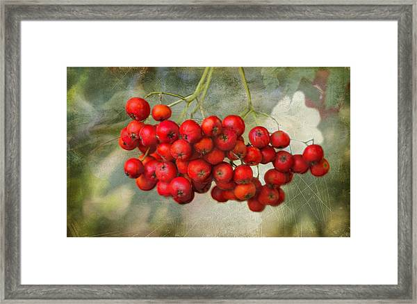 Spring Mountain Ash Berries  Framed Print