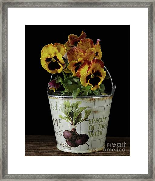 Spring Pansy Flowers In A Pail Framed Print