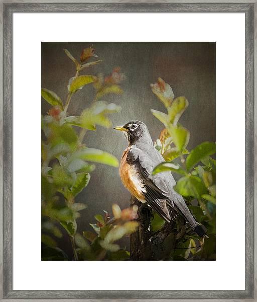 Spring Robin Framed Print
