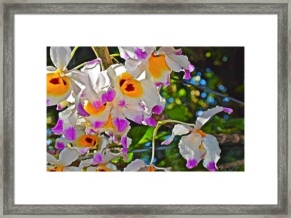 Spring Show 15 Brazilian Orchid Framed Print