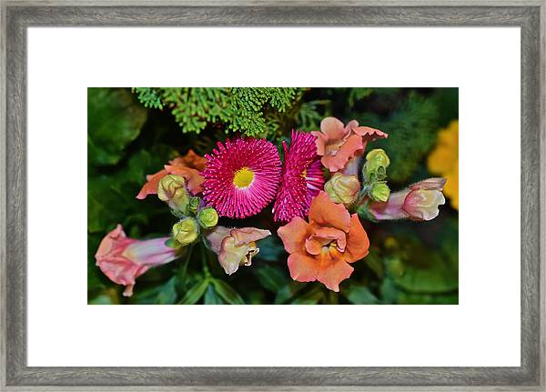 Spring Show 15 Snapdragons And English Daisy Framed Print