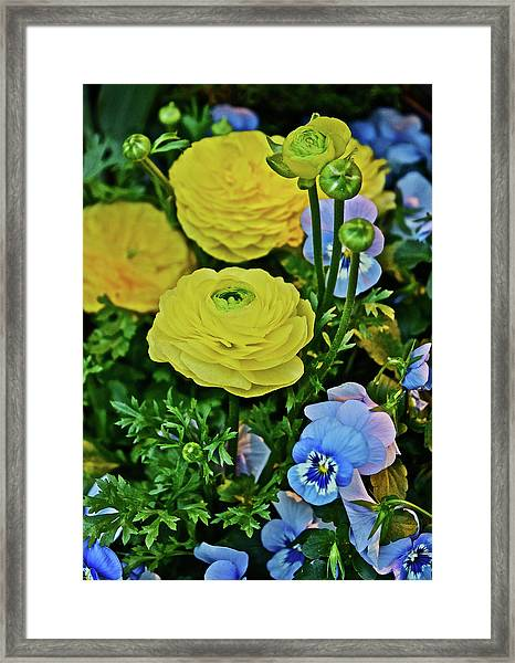 Spring Show 18 Persian Buttercup With Horned Viola Framed Print