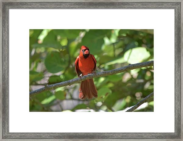 Spring Training Cardinal Framed Print