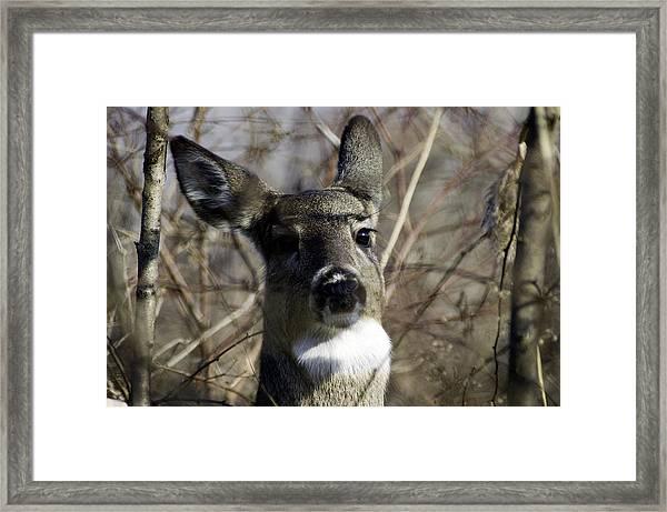 Spring Whitetail Framed Print