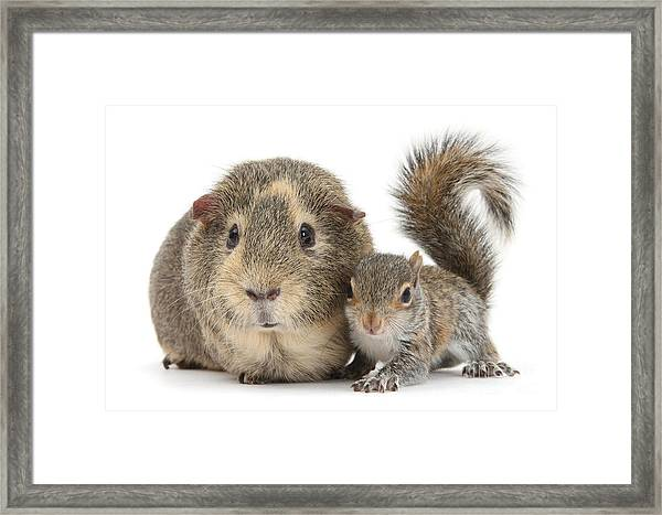 Squirrel And Guinea Framed Print