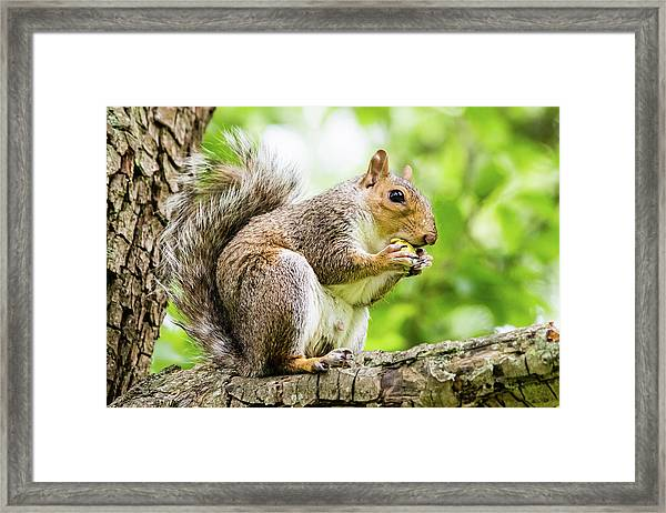 Squirrel Eating On A Branch Framed Print