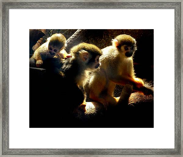 Squirrel Monkey Framed Print