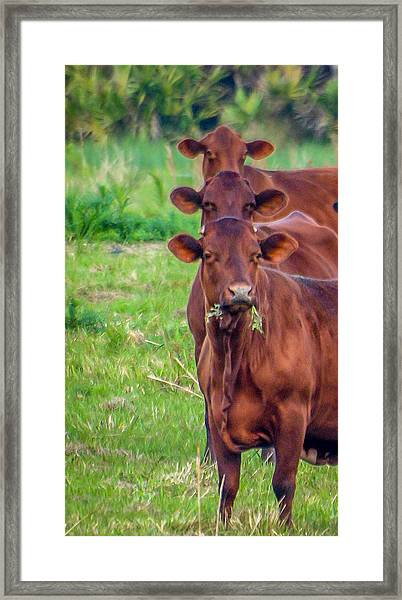 Framed Print featuring the photograph Stacked Up Cows          by Tom Claud