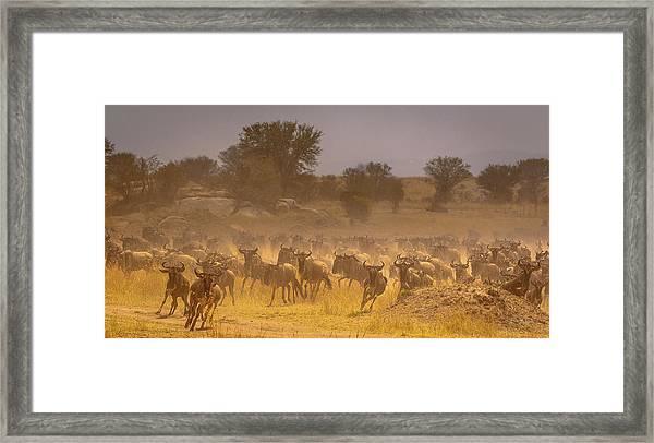 Stampede-serengeti Plain Framed Print