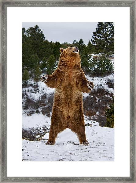Standing Grizzly Bear Framed Print