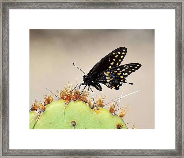 Standing On Spines - Black Swallowtail Framed Print