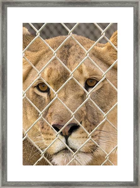 Staring Lioness Framed Print