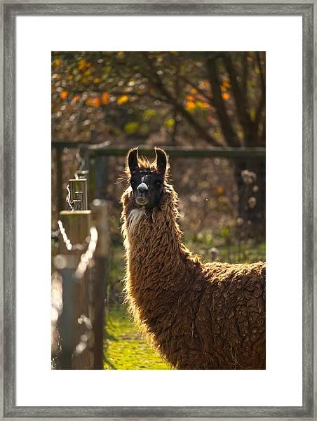 Staring Llama Framed Print