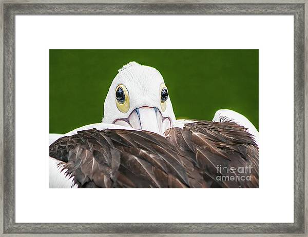 Staring Pelican Framed Print