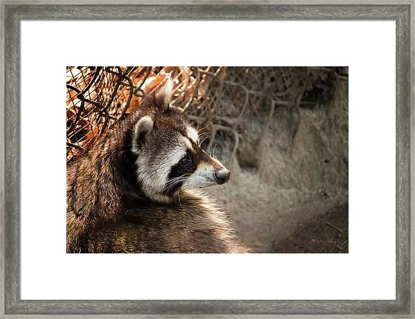 Staring Raccooon Framed Print