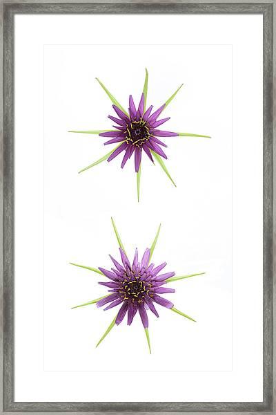 Stars Of Salsify Framed Print