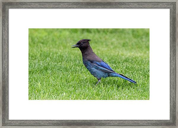 Steller's Jay On The Lawn Framed Print