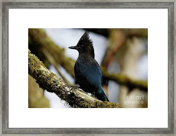 Stellers Jay Framed Print