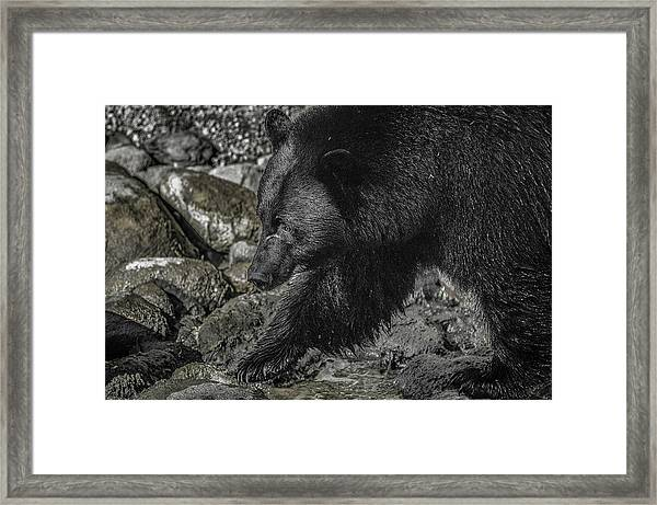 Stepping Into The Creek Black Bear Framed Print