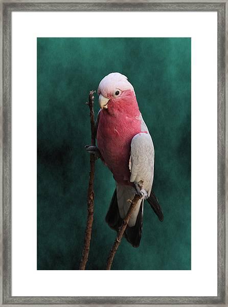 Stiltwalker - Roseate Cockatoo Framed Print