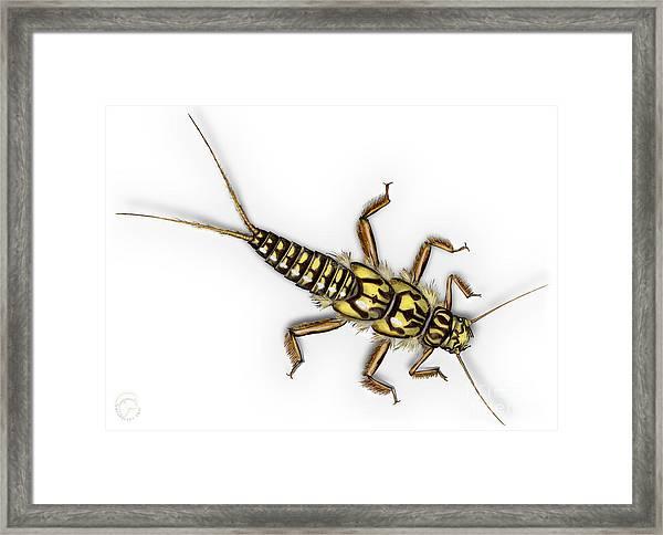 Stonefly Larva Nymph Plecoptera Perla Marginata - Steinflue -  Framed Print