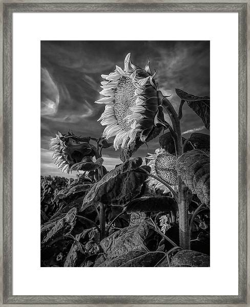 Strength Of A Sunflower Framed Print