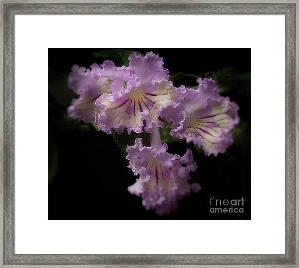 Streptocarpus 'renia' Framed Print