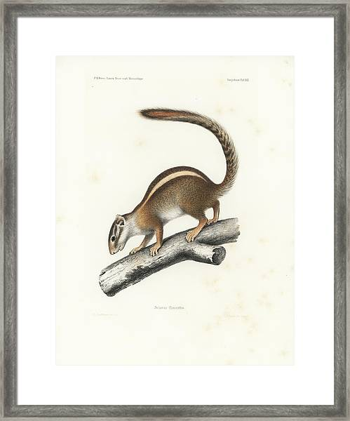 Framed Print featuring the drawing Striped Bush Squirrel, Paraxerus Flavovittis by J D L Franz Wagner