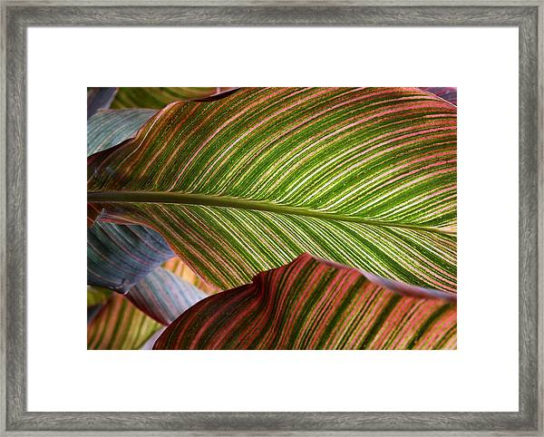 Striped Canna Lily Leaves Framed Print