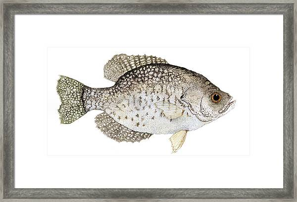 Study Of A Black Crappie Framed Print