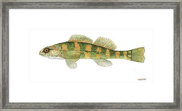 Study Of A Green Sided Darter Framed Print