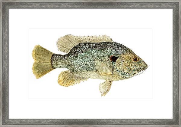 Study Of A Green Sunfish Framed Print