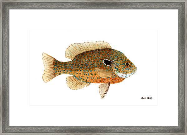 Study Of A Longear Sunfish Framed Print