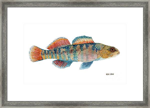 Study Of A Rainbow Darter Framed Print