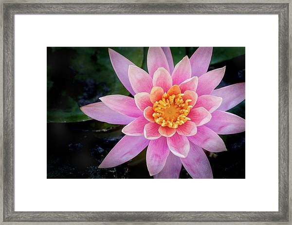 Stunning Water Lily Framed Print