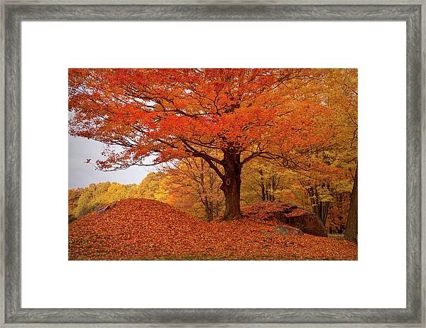Sturdy Maple In Autumn Orange Framed Print