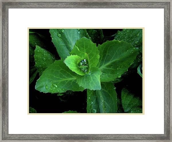 Succulent After The Rain  Framed Print