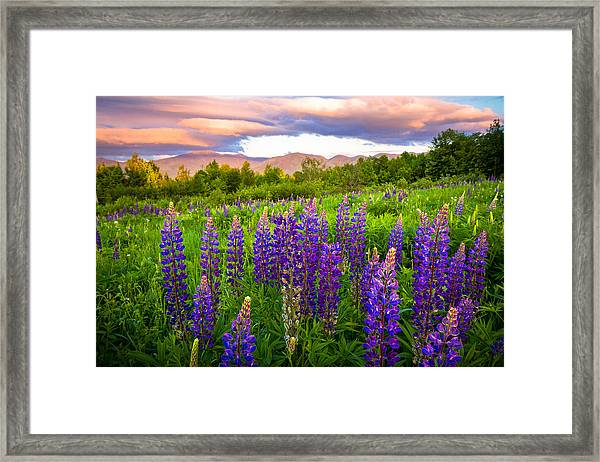 Sugar Hill Lupines Framed Print